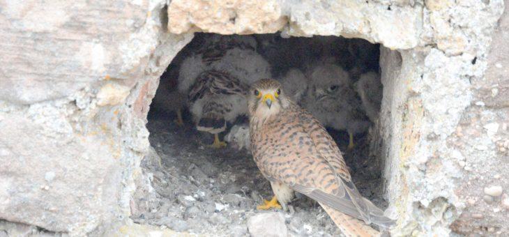 Le faucon Crécerelle aux Châteaux d'Ottrott